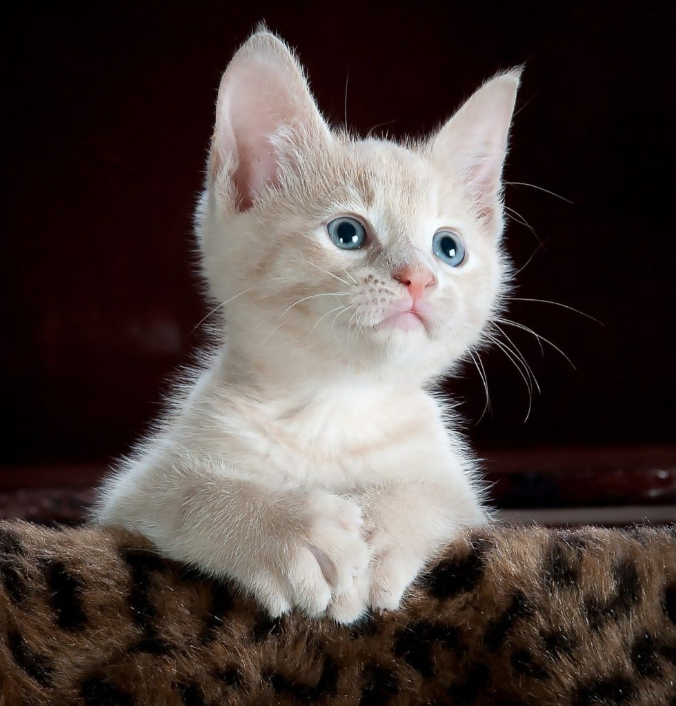 cat, kitten, pet